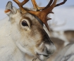 Researcher shines light on mystery of reindeer's changing eye colour at Christmas-themed Café Scientifique
