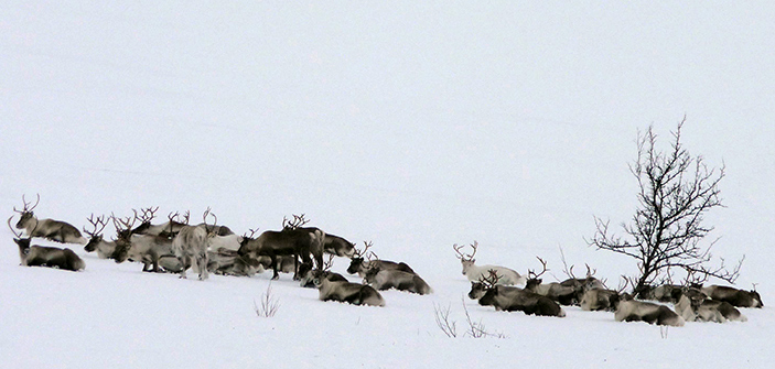 The eyes of reindeer living in the Arctic circle change from gold to blue depending on the season.