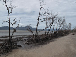 Winds from Cylone Yasi completely stripped a line of trees on the shore at Cardwell when they whipped across the North Queensland coastline.
