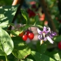 The Deadly Nightshade plant - Kingston University London